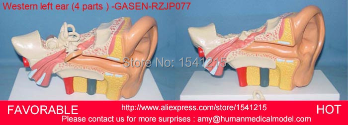 LISTENING TEACHING MODEL,EAR ANATOMICAL MODEL,ANATOMY  EAR INNER ,HUMAN ANATOMY MODEL 4 MEDIUM-SIZED WESTERN EAR -GASEN-RZJP077 ear anatomical model anatomic model labyrinth inner ear vestibular enlargement ear structure model gasen ebh006