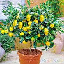 Yellow Green Citrus Lemon Tree Seeds