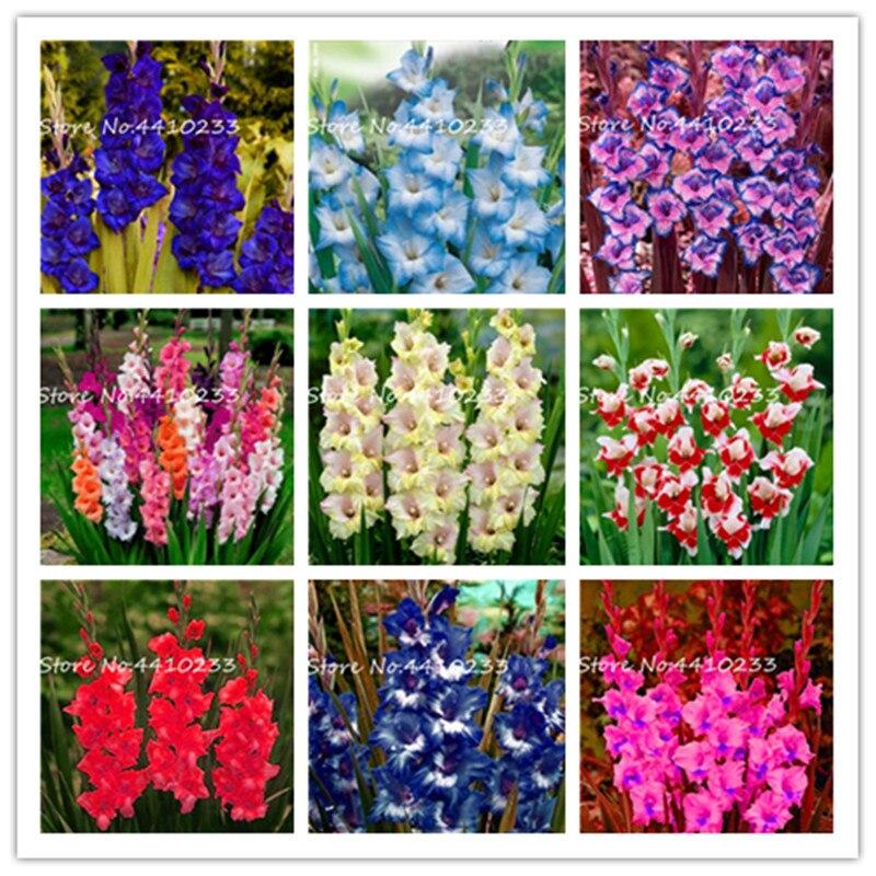 100 шт. разные многолетние гладиолусы бонсай цветок многоцветный Редкий меч лиловые растения очень красивый для домашнего сада