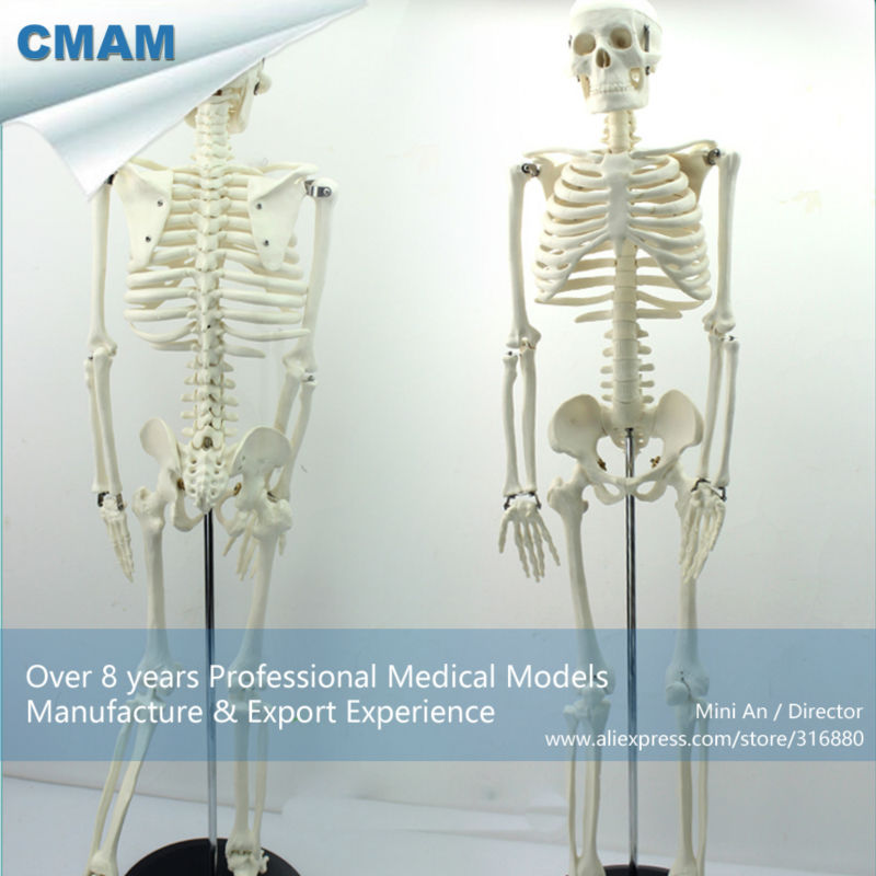 12366 CMAM-SKELETON06 Classic Medical Anatomy Standard 85cm Human Skeleton Model Manikin 12366 cmam skeleton06 half size 85cm human skeleton model medical science educational teaching anatomical models