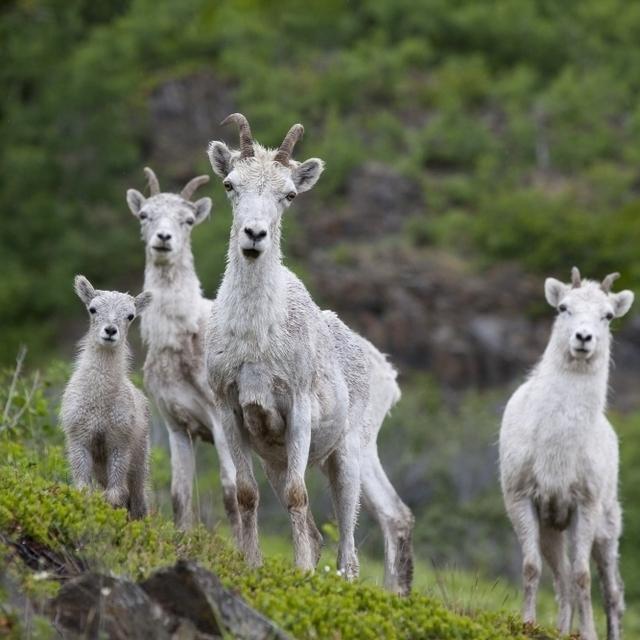 Three Adult Dall Sheep Ewes With One Lamb  Chugach Mountains  Alaska Poster Print (34 x 22)
