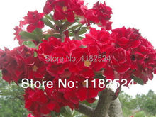 20 семена — свежий редкие » strawberrysunday » Adenium Obesum семена — бонсай семена