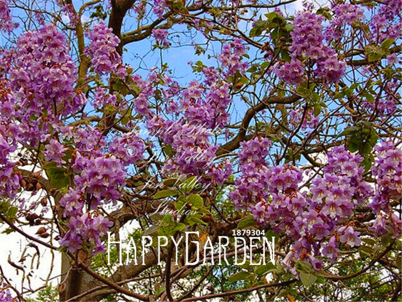 100 Pcs A Lot Hot Sale! PAULOWNIA Tomentosa Tree Plant,Purple Flowers For Home Garden And Bonsai