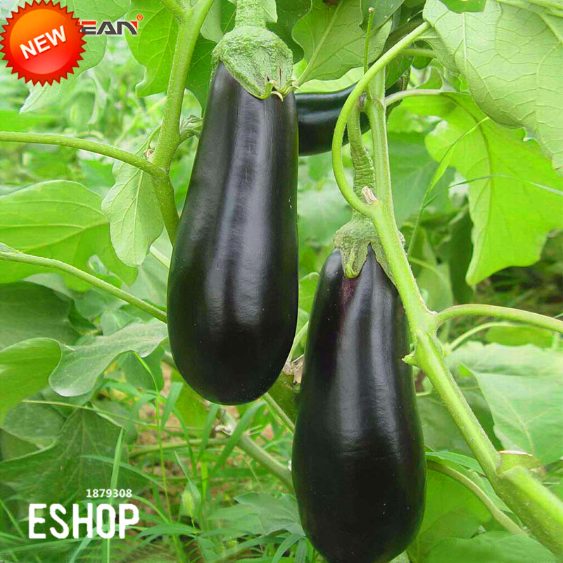 big sale100 seedsbag long purple eggplant seeds nutrition beautiful common vegetable seeds solanum bonsai from home u0026 garden on