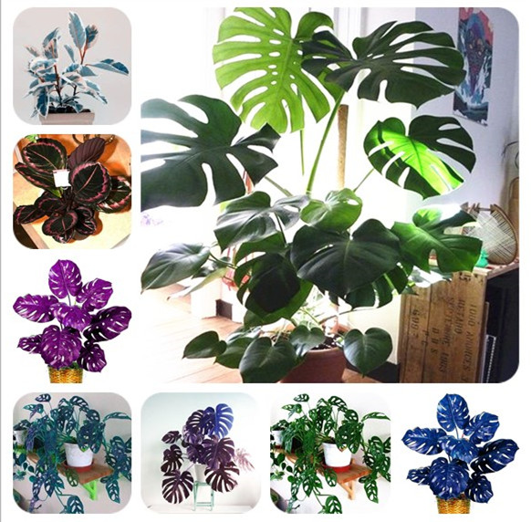 100 Pcs/ Bag Rare Palm Turtle Leaves Monstera Bonsai Outdoor Potted Plant Tree Bonsai Mix Home Perennial Foliage Plants Flower