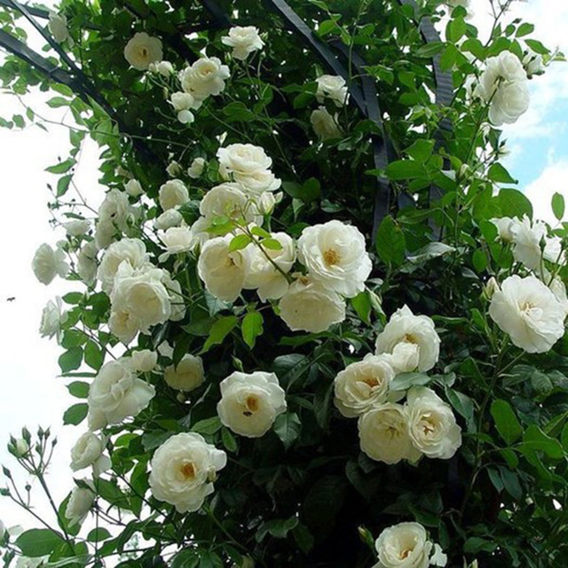 100 stücke Vielzahl Klettern Weiße Rose Samen Rosa Multiflora ...
