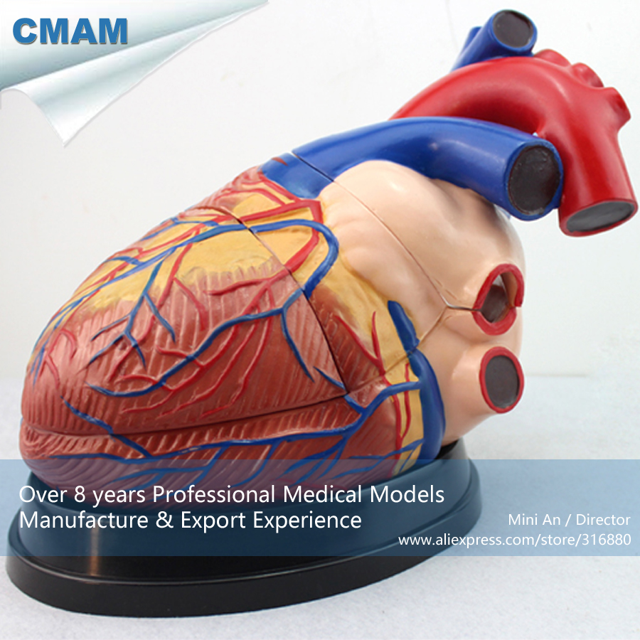 12486 CMAM-HEART10 Giant Human Heart Anatomical Model with Base (3parts), Medical Science Educational Teaching Anatomical Models cmam spine11 human vertebral column w half femur highly detailed model medical science educational teaching anatomical models
