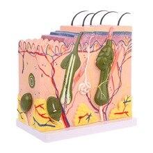 Strumento di insegnamento medico di anatomia anatomica di plastica ingrandita del blocco del modello della pelle umana