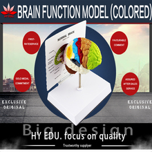 Medical teaching supplies biological Brain function  model(color to partition) anatomical model