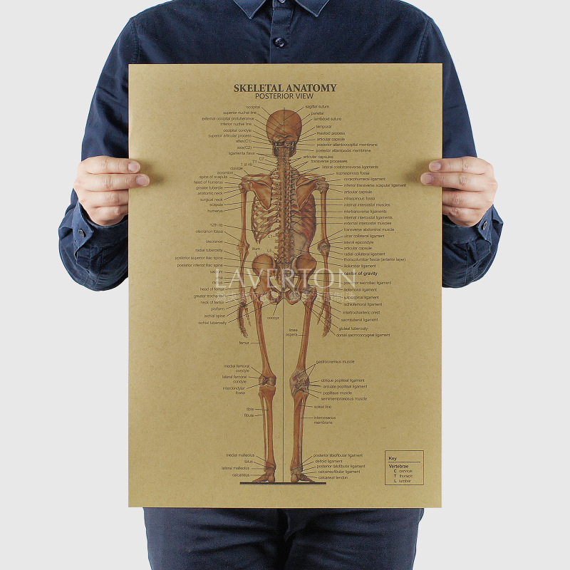 Skeleton structure map/skeletal anatomy view B/kraft paper/ bar poster Wall Stickers/Retro Poster/decorative painting 51x35.5cm