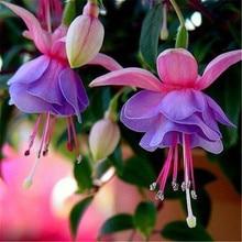 лучшая цена Fuchsin Family plant Potted Hanging Flowers Seeds Seasons Easy Kinds Of Lanterns Flowers Bell Bell Seeds 100Seeds