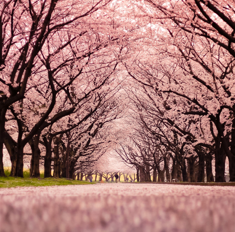 8x8ft Spring Light Pink Peach Flowers Blossom Trees Tunnel