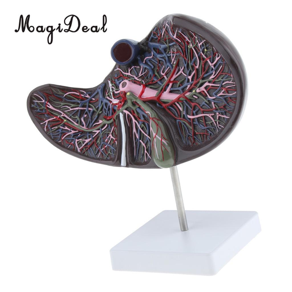 Magnification 1.5x Human Liver Gallbladder Anatomical Model Medical Teaching Aid  Anatomy  Show in Detail Statues & Sculptures     - title=
