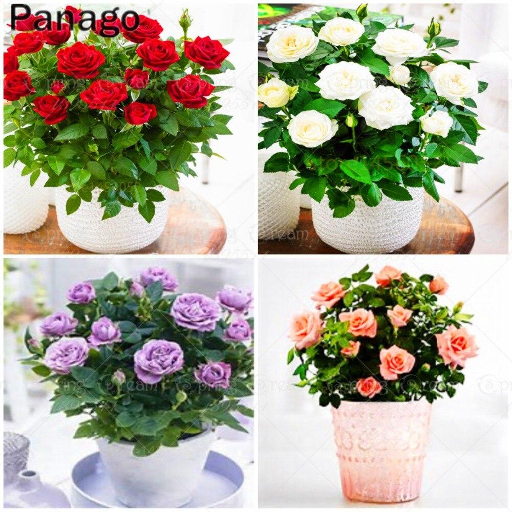 50pcsbag Mini Rose Bonsai Miniature Rose Diy Home Garden Bright And