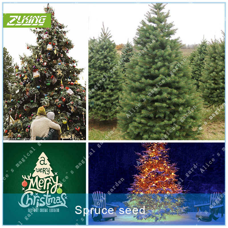 Us 0 56 Zlking 50pcs Norway Spruce Tree Christmas Tree Christmas Decorations Bonsai Plant For Home New Year S Product True Tree In Bonsai From Home