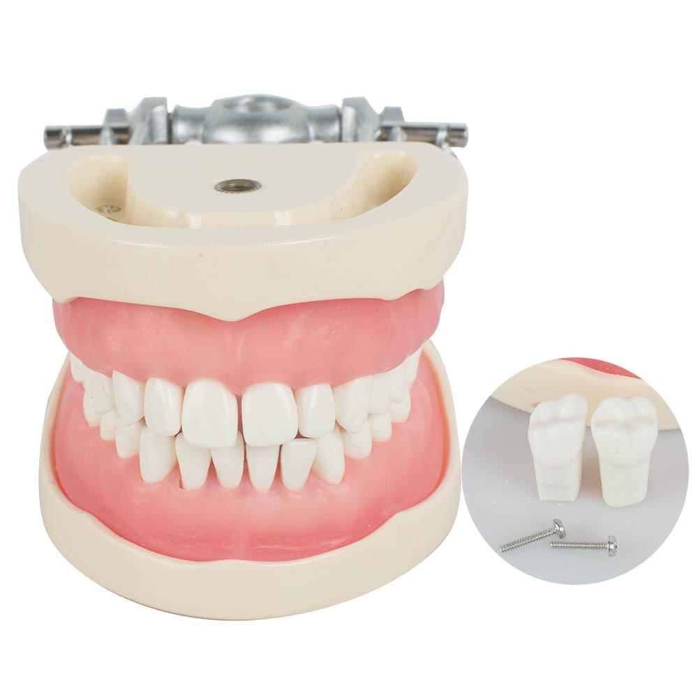 Dental Teach Study Adult Standard Typodont Demonstration Model TeethDental Teach Study Adult Standard Typodont Demonstration Model Teeth