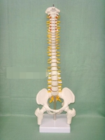 Human Spine Bone Skeleton Model 45cm Sitting Posture Model For Medical Rehabilitation Training Spine Model Human