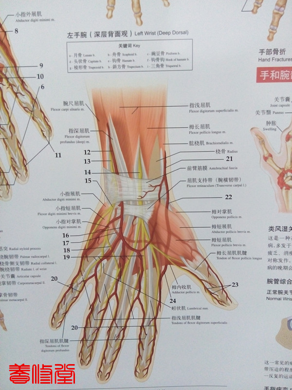 Anatomy And Injuries Of The Hand And Wrist Wall Chart In Massage