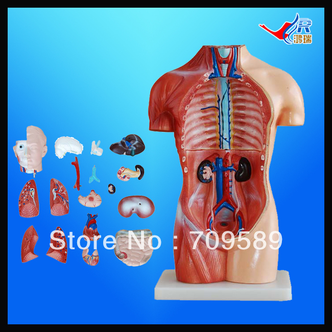 ISO 42CM Sexless Torso with Internal Organs 18 Parts, human anatomy Torso model 42cm male 13 torso model torso anatomical model of medical biological teaching aids equipment