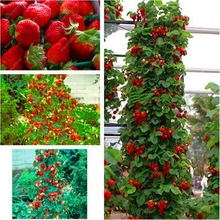 500 pcs/bag strawberry seeds rare climbing strawberry seeds for DIY home garden organic fruit seeds potted plants(China)