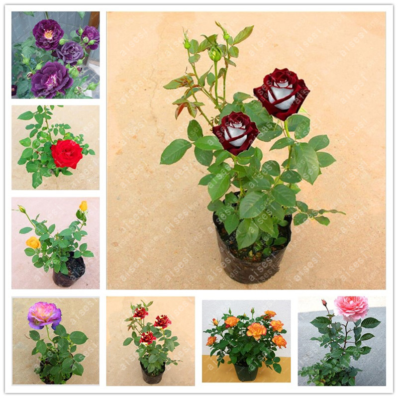 100pcs rose tree rose bonsai flower tree Chinese roses 18 colors give lover plant for home garden in Bonsai from Home Garden
