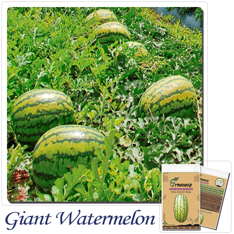 Growing watermelons reviews online shopping growing for Gardening express reviews