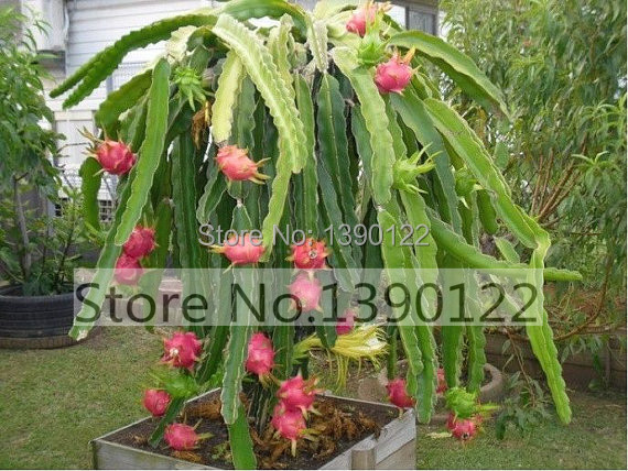 Aliexpresscom Buy 100bag dragon fruit seeds DIY home graden