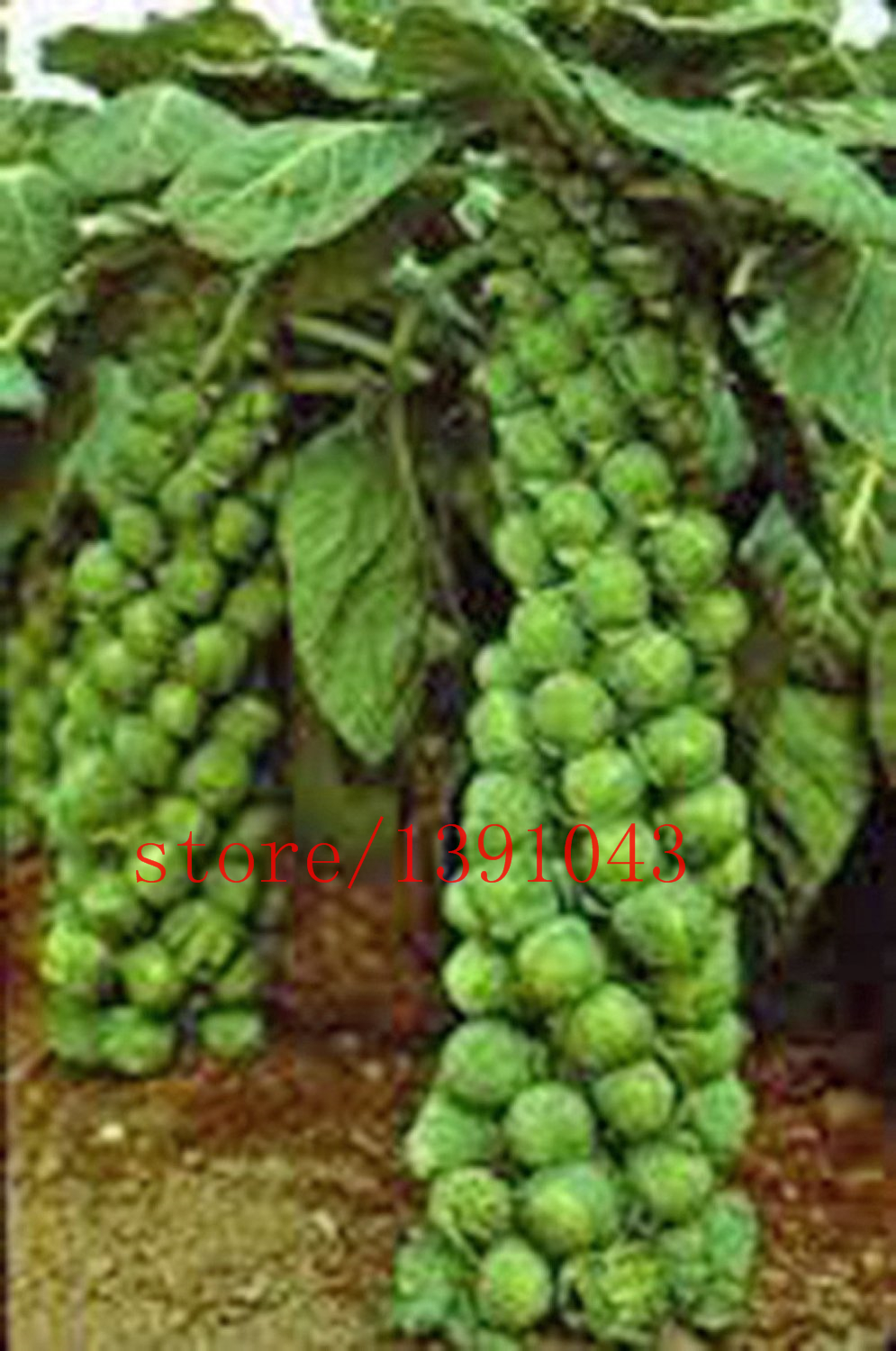 200pcs bag mini cabbage seeds Brussel Sprouts Seed  Long Island  Heirloom   Organic  Non GMO vegetable seeds for home   garden in Bonsai from Home    Garden. 200pcs bag mini cabbage seeds Brussel Sprouts Seed  Long Island