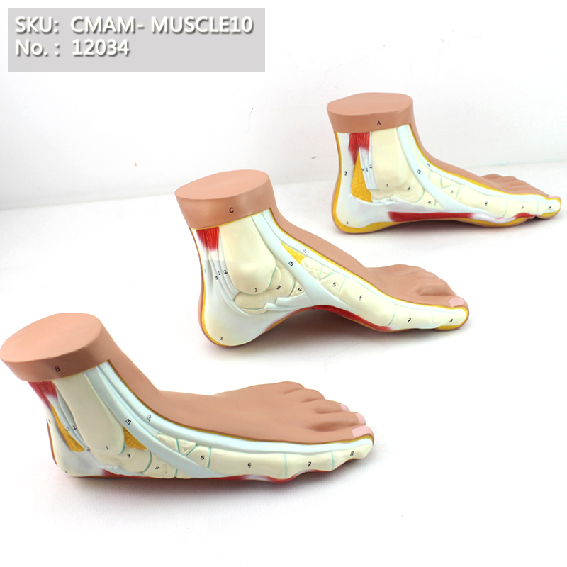 нормальные ноги - CMAM/12034 Normal, Flat, Arched Foot, 3in1, Plastic Human Body Muscle Teaching Anatomical Model