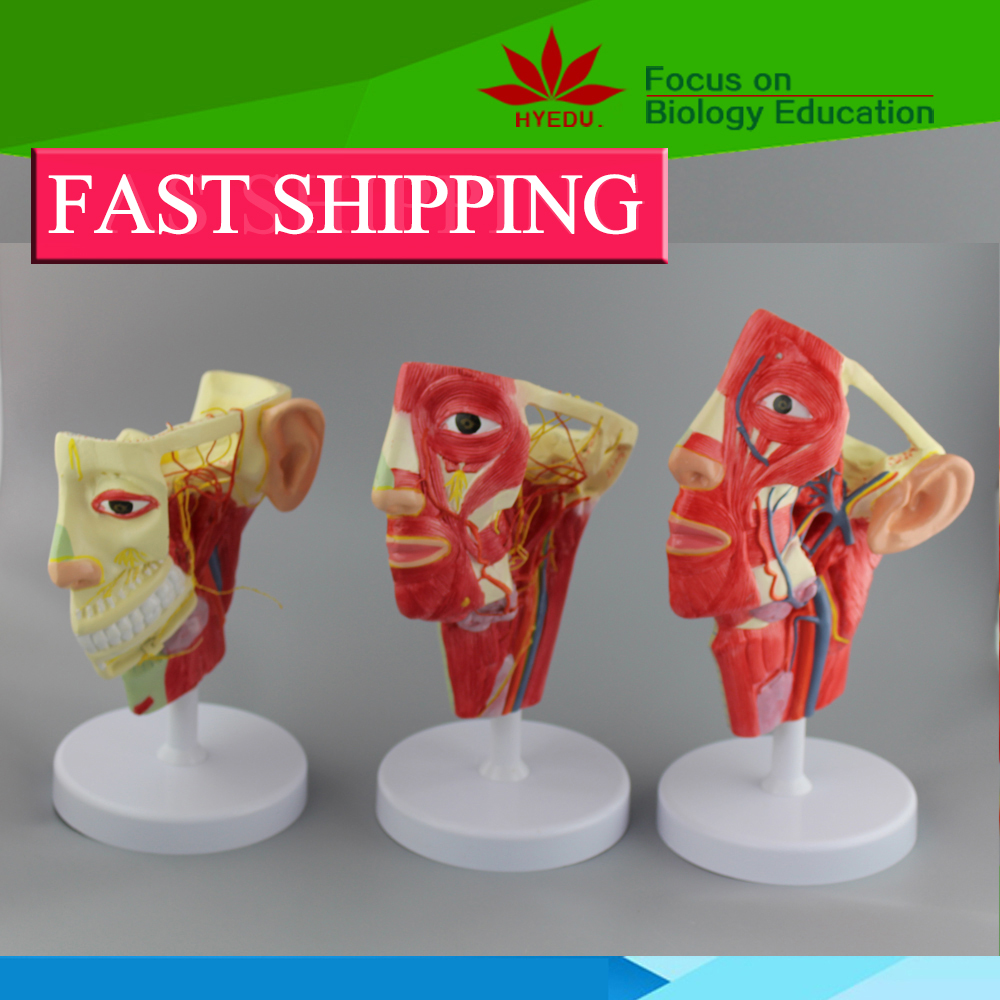 human head nerves ,veins ,and arteries anatomy model with 3 models one set economic half head with vessels model anatomical head model with brain nerves vascular muscles and vessels