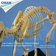 CMAM-A11 Anatomical Dog Budget Canine Skeleton Model – Medical Veterinary Anatomy
