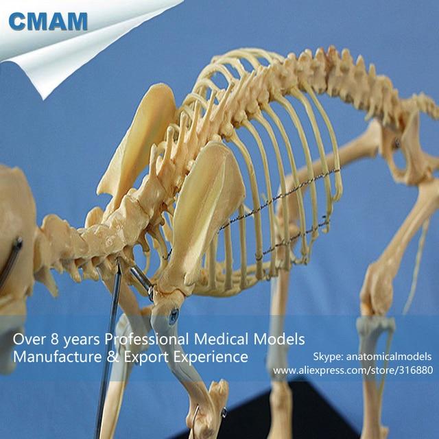 CMAM A11 Perro Anatómicas Presupuesto Canino Esqueleto Modelo de ...