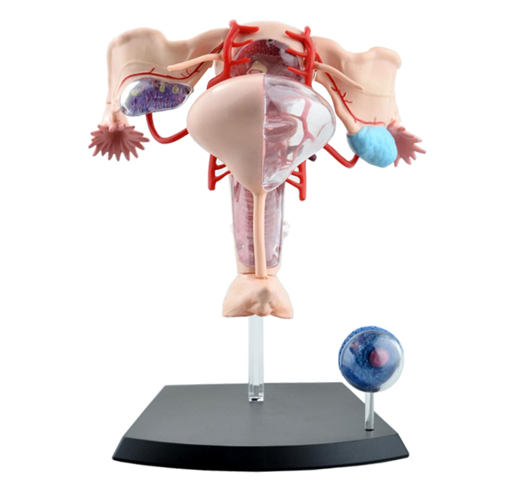Female Reproductive System 4d Human Body Organ Anatomical Model Medical Teaching Model