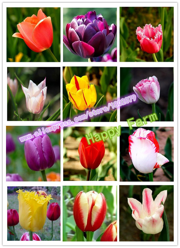 Sementes de tulipas, flores tulipa, bela tulipa 24 variedades pode pick-100 sementes para casa & jardim