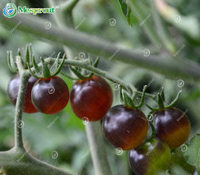 Black Pearl Tomato Seeds Very Tasty Nutritive Heath Vegetables Seeds 1 Pack 100 Seeds / Pack