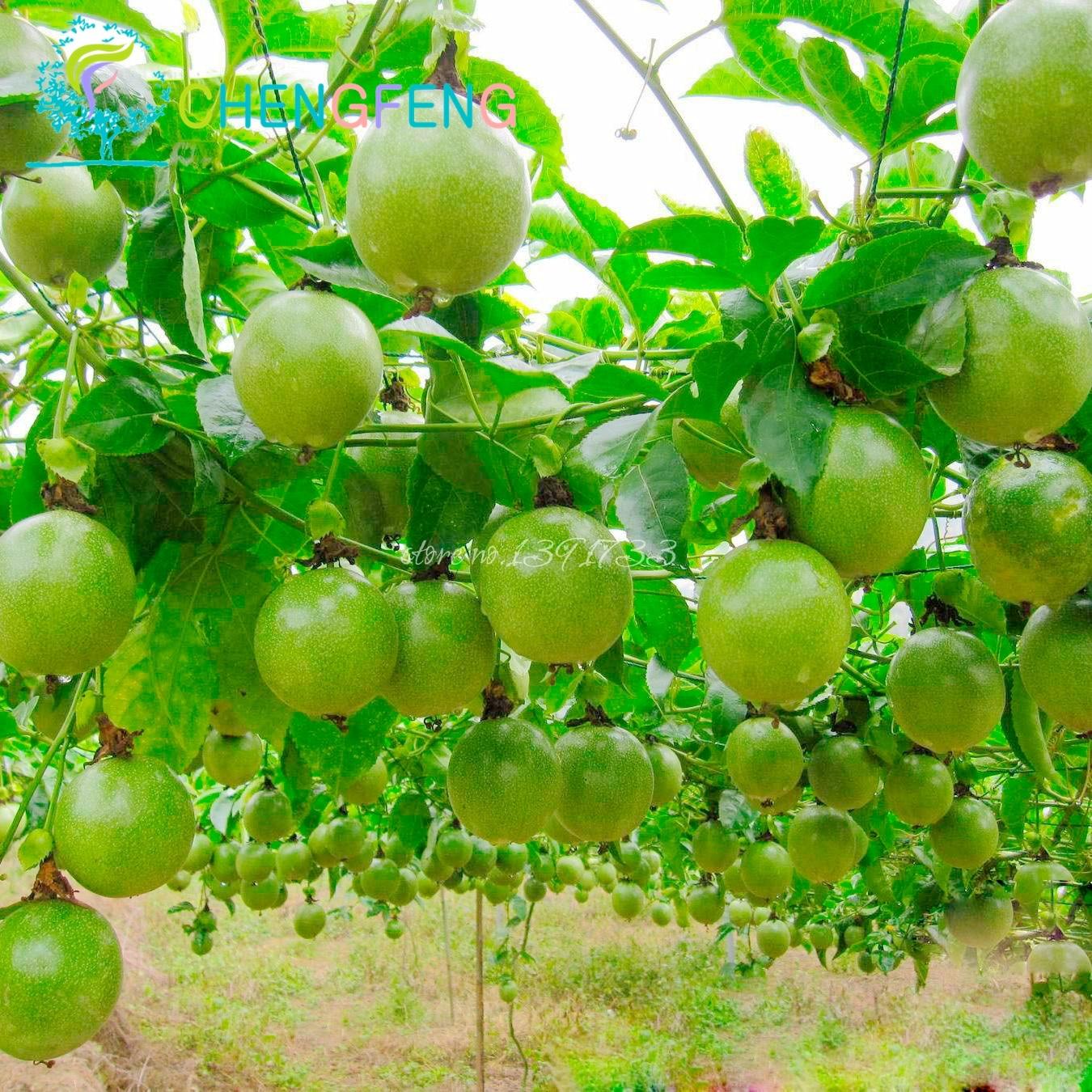 20 Graines Passion Fruits Graines Passiflora Caerulea Frais Fleurs ...