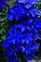 Синий бонсай клематис (не луковицы) цветок бонсай цветок многолетнее цветущее растение в горшке