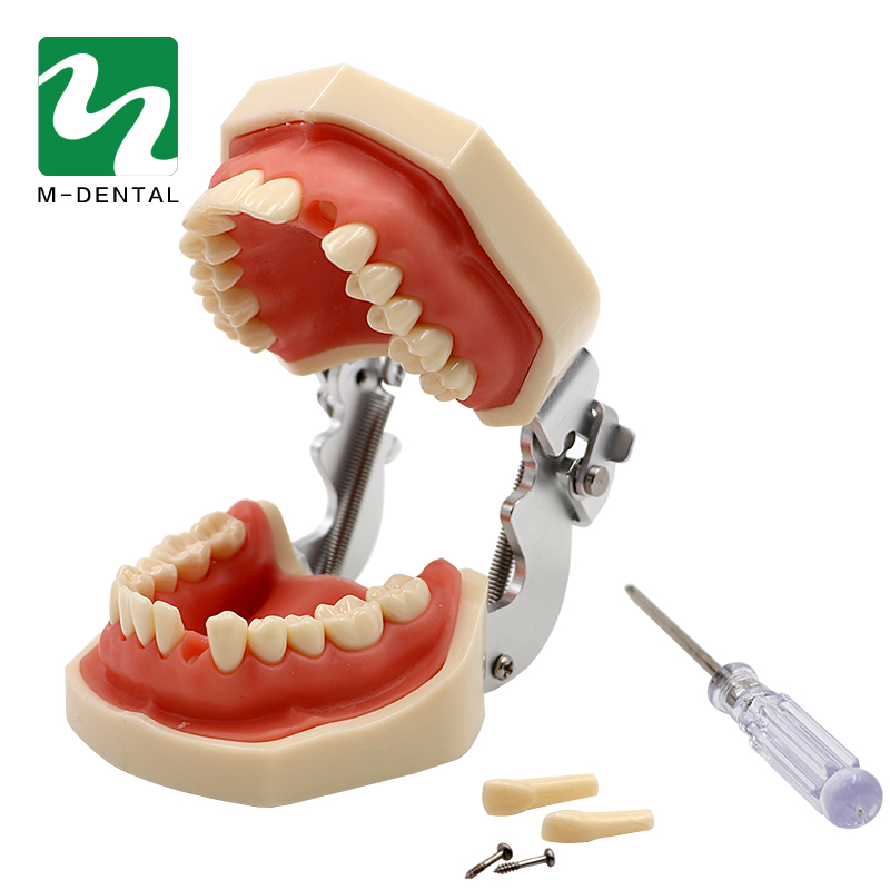 Dental Removable Standard Teeth Tooth Model With 28pcs teeth For Teaching Simulation Model transparent dental orthodontic mallocclusion model with brackets archwire buccal tube tooth extraction for patient communication