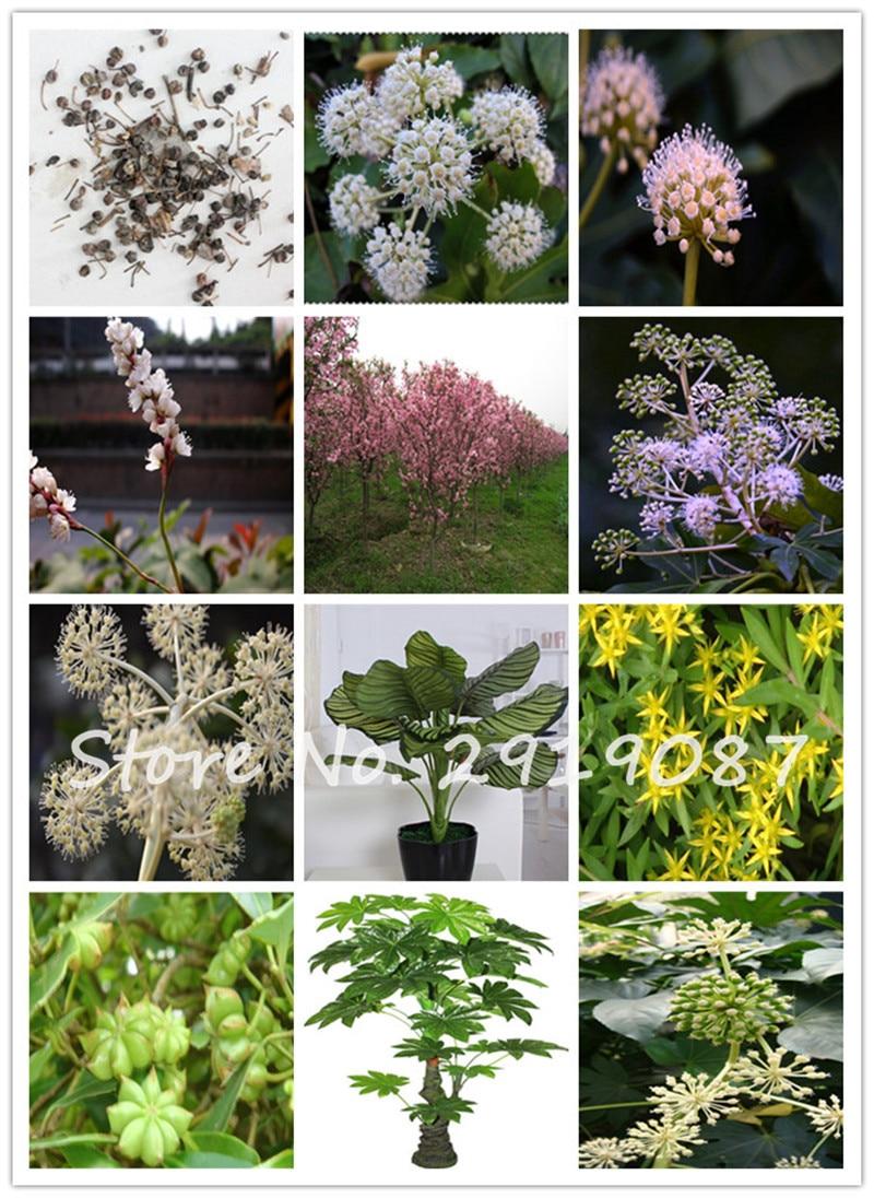 10 familia araliaceae unids bolsa fatsia japonica semillas for Arbustos de jardin