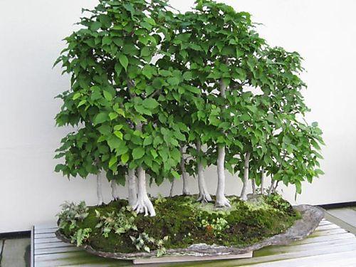Betula Tree Betulaceae Hardwood Birch Seeds Pure Bonsai