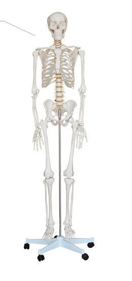 Body skeleton model Structural skeleton heart Blood vessels Neurology teaching 170cm Skeleton model-GASENHN-003 skeleton key