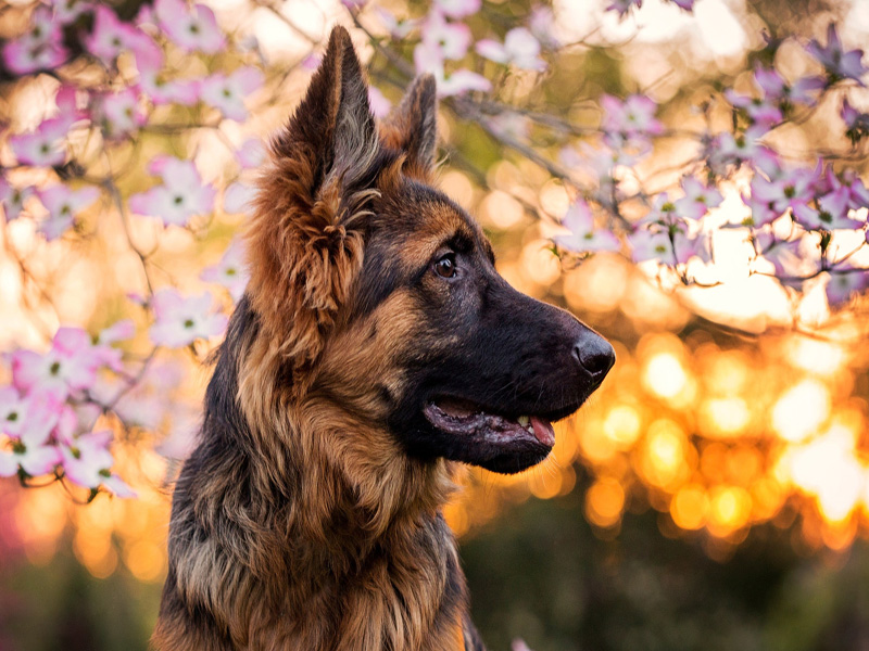 german-shepherd-bokeh-flower-close-up-cute-animals