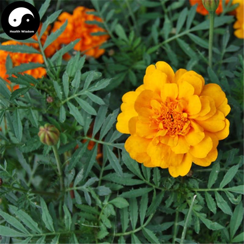 Купить Бархатцы раскидистый Semente 60 шт. завод сад цветок Бархатцы раскидистый
