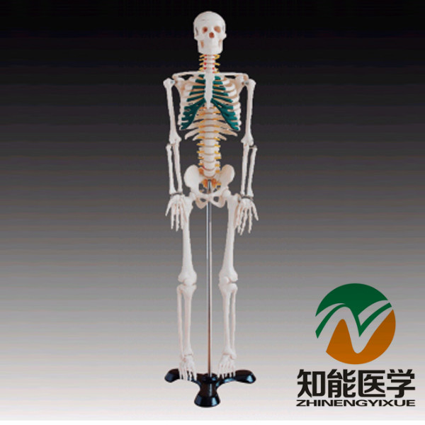 BIX-A1004 85cm Medical Science Human Spinal Nerves Skeleton Model W042 bix a1005 human skeleton model with heart and vessels model 85cm wbw394