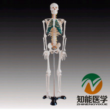 BIX-A1004 85cm Medical Science Human Spinal Nerves Skeleton Model W042