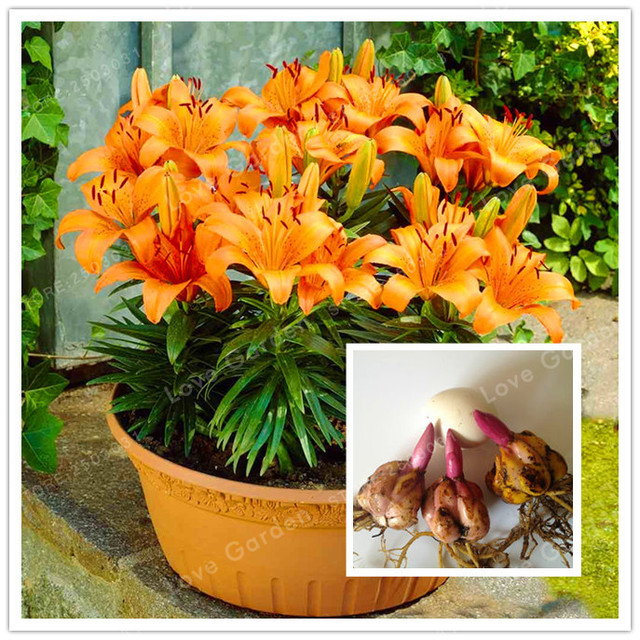 2 Bulb Orange Perfume Lilies Rare Flower Garden Plant Balcony Bonsai Courtyard Flowers Lily