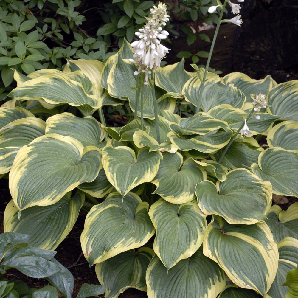 20pcs Hosta Plantaginea Seeds Fragrant Plantain Flower Fire And Ice