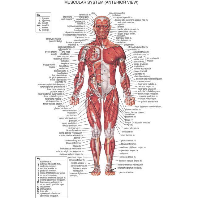 J0867 Human Body Structure Anatomy Chart Pop 14x21 24x36 Inches Silk