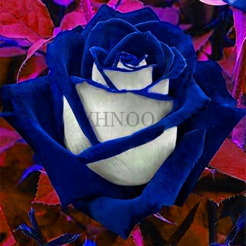 Hot sale loss promotion200 pcsbag rare blue pink rose garden loss promotion200 pcsbag rare blue pink rose garden bonsai flower plant for home grden plnat pot easy growing fragrant high ge mightylinksfo