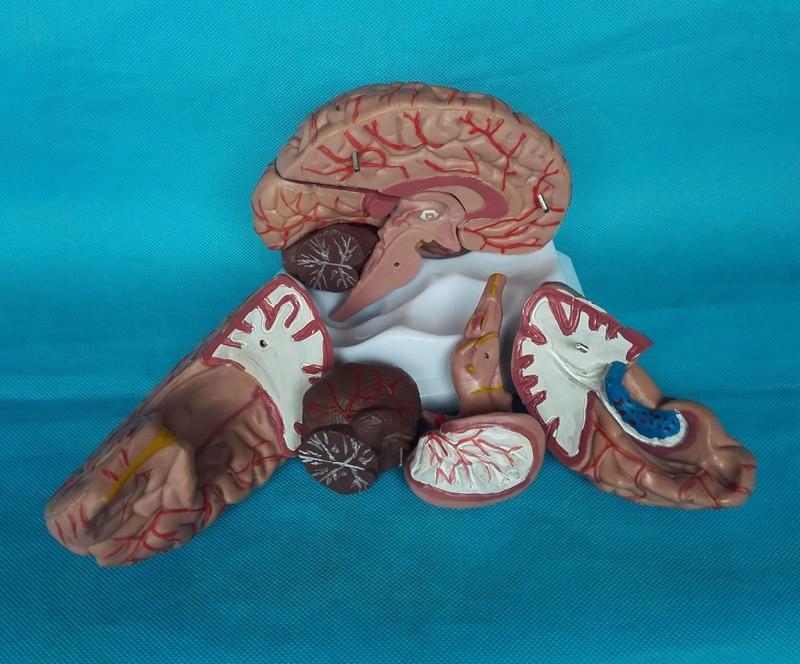 Menschliche Gehirn Modell Zerebrovaskuläre Modell 8 Teile Gehirn ...